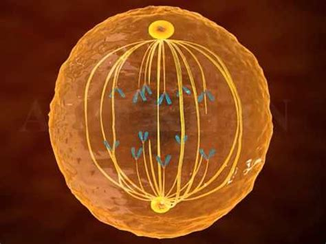mitosis  animation phases  mitosiscell division