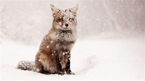 fox snow snow winter nature animals foxes wallpaper
