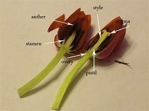 Dissecting A Tulip