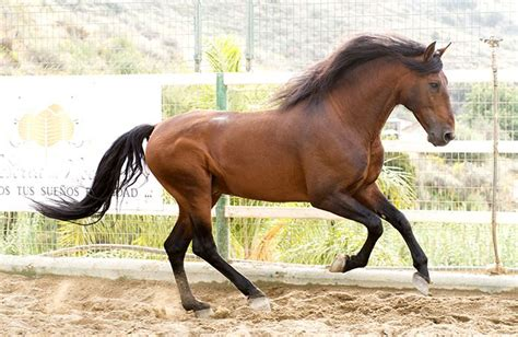 horses andalusian horse
