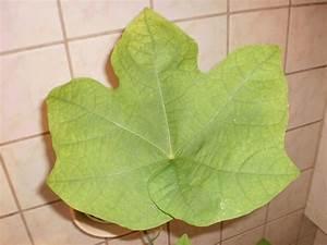 Was Ist Das Für Ein Baum : was ist das f r ein baum firmiana simplex baumkunde forum ~ Buech-reservation.com Haus und Dekorationen