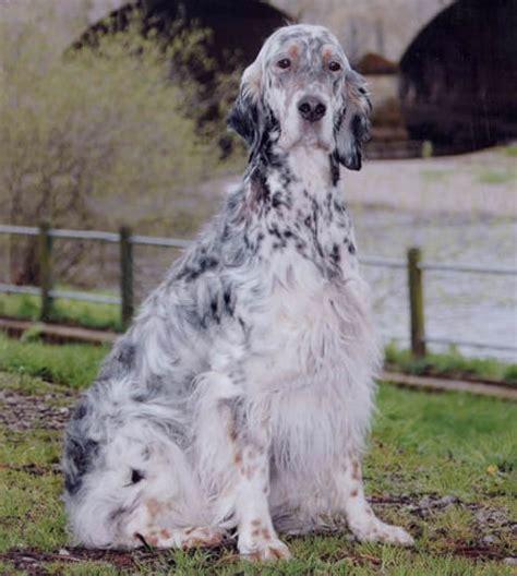 white setter shedding 17 best images about dogs setter engelse on