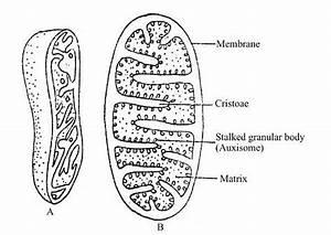 Mitochondria Function  Location  Mitochondria Diagram And