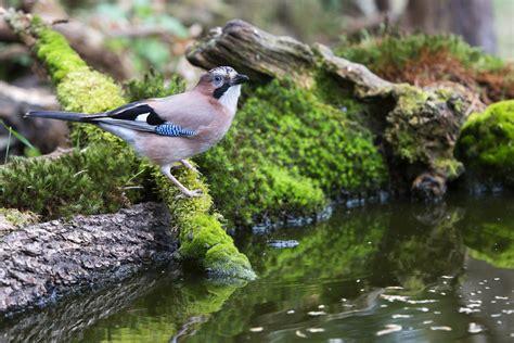 Mbc Bird & Pest Control Dorset & Hampshire Corvids