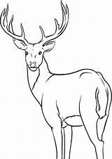 Deer Coloring Tulamama sketch template