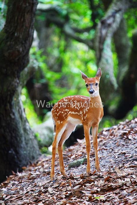 white tailed deer fawn   oak trees  wayne hughes redbubble