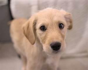 Puppy Yellow Labrador