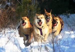 Chinook - Dog Breed Standards