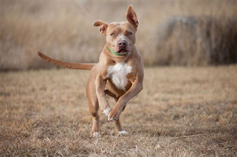 Best Pit by Best Food For Pitbulls To Satisfy Their Nutritional Needs