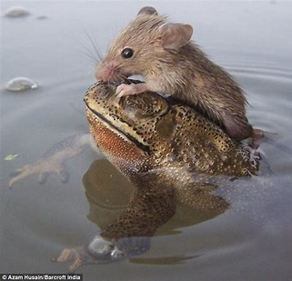 Image result for Rats and TOADS