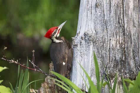 largest north american woodpecker pileated woodpecker