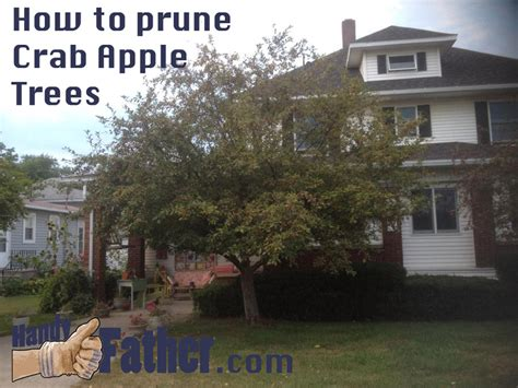 how to prune a crabapple tree top 28 pruning a crabapple tree crabapple tree boulder tree care pruning tree how to prune