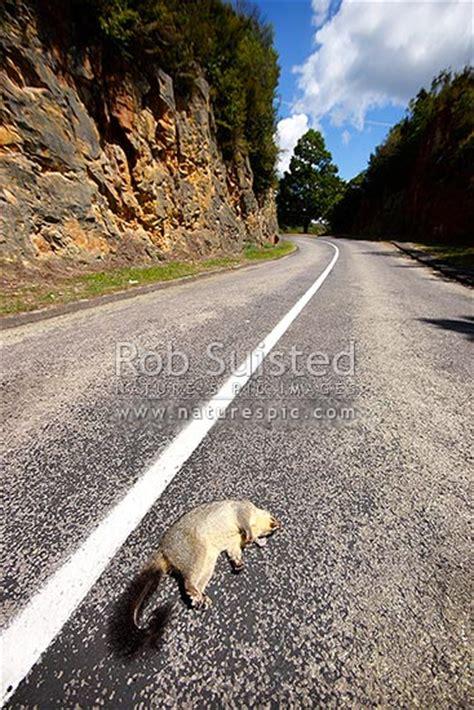 dead brushtail possum carcass run   road road kill