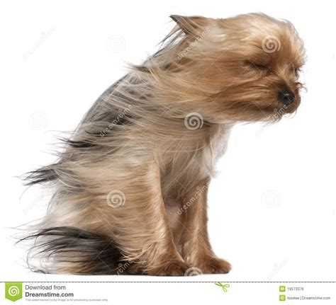 yorkshire terrier  hair   wind royalty  stock