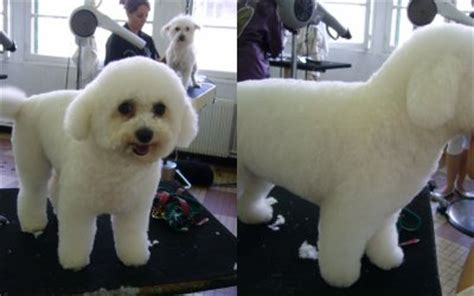 bichon salon de toilettage canin