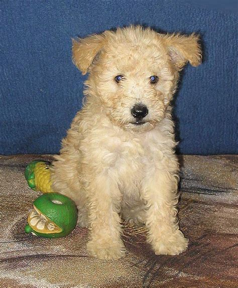 pumi puppy dog breed puppies warning hungarian cutest cuteness overload cute history info names