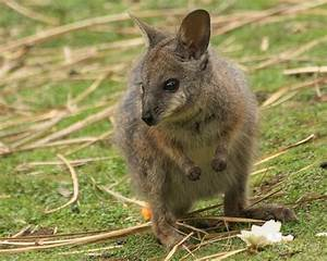 Dama Wallaby - Tammar Wallaby | Some Interesting Facts ...