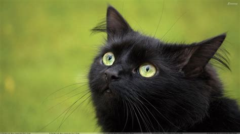 black cats black cats wallpapers photos images in hd