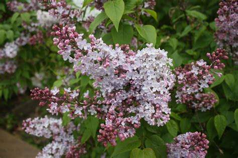 common flowering shrubs top 28 common garden shrubs best plants for hedges common shrub stock photos common shrub