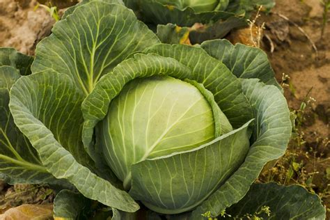 Different Types Of Cabbage You'll Be Surprised To Know About