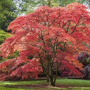 Ahorn Rote Blätter : f cherahorn acer palmatum pflanzen und pflegen mein sch ner garten ~ Eleganceandgraceweddings.com Haus und Dekorationen