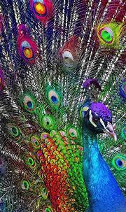 Iphone Peacock Wallpaper - KoLPaPer - Awesome Free HD ...