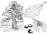 Tree Coloring Oak Trees sketch template