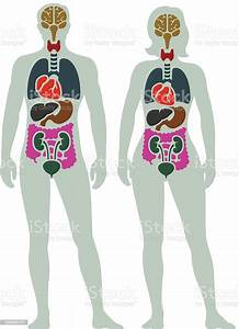 Human Internal Organ Diagram Stock Illustration