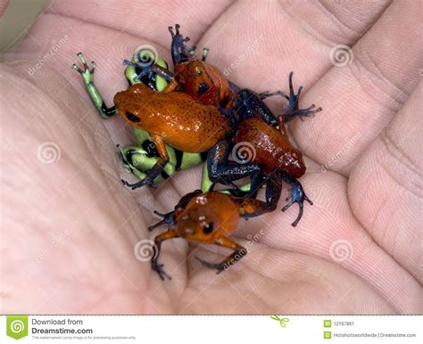 Hand Full Of Poison Dart Frogs Stock Image   Image: 12197861