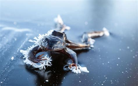 How To Freeze A Frog