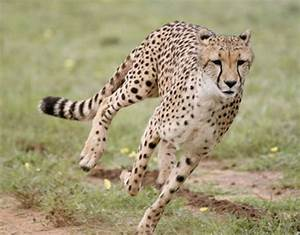 Cheetah | Wildlife Info-Facts and Photos | The Wildlife