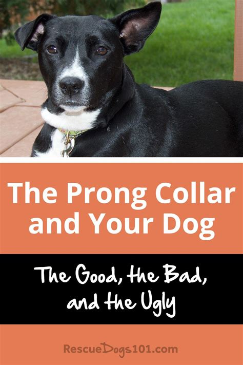 prong collar dog bad ugly rescuedogs101 dogs know need things