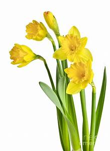 Spring Yellow Daffodils Photograph by Elena Elisseeva
