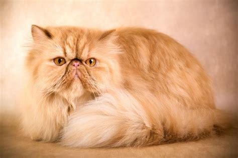 Persian Cat  Purrfect Cat Breeds