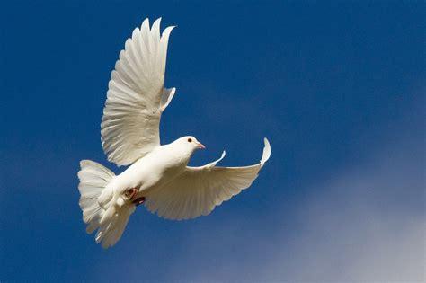 dove white doves 100 more photos