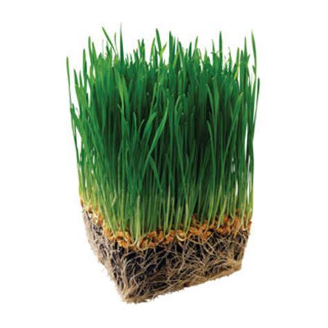 barley grass juice green source organics natural