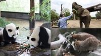 端午節2020|上海動物園應節特製 大熊貓小熊貓非洲象吃特色糭子|香港01|大國小事
