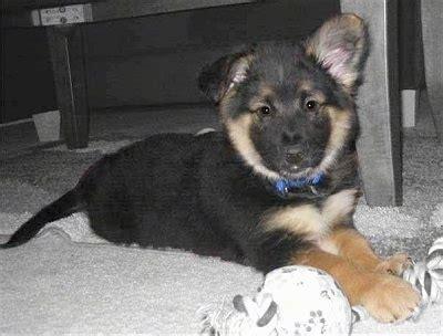gerberian shepsky dog breed information  pictures