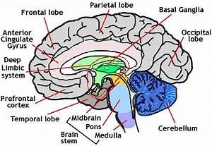 Human Brain Outline - ClipArt Best