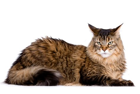 do maine coons shed in the summer my top 8 cat breeds