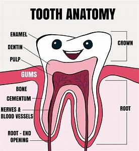 Tooth Anatomy Explained For Kids