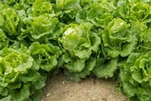 Ab Wann Erdbeeren Pflanzen : salat pflanzen ab wann ~ Eleganceandgraceweddings.com Haus und Dekorationen