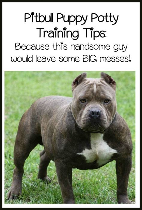 pitbull puppy training tips quick  easy potty