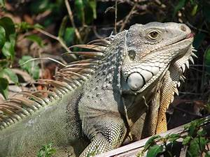Conservationists rid Florida of invasive iguanas by ...