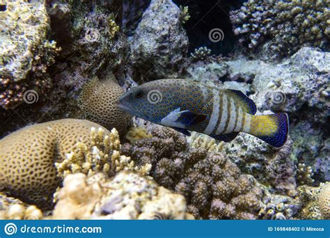 grouper spotted fish hind peacock tropical argus cephalopholis reef coral
