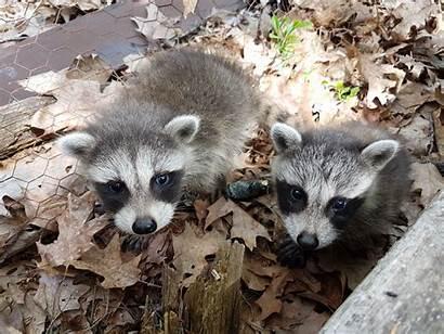 Raccoons Aww