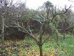 Apple Tree Pruning In Allington