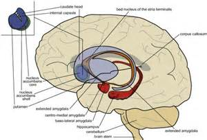 position of the limbic basal ganglia centromedial