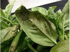 Vegetable Disease of the Week — Plant & Pest Advisory