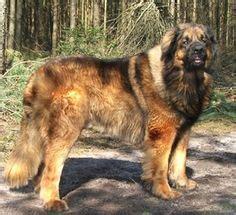 images  leonberger  pinterest dogs